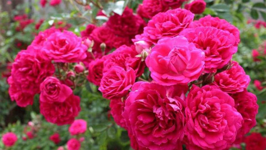 خواص دارویی گیاه گل محمدی