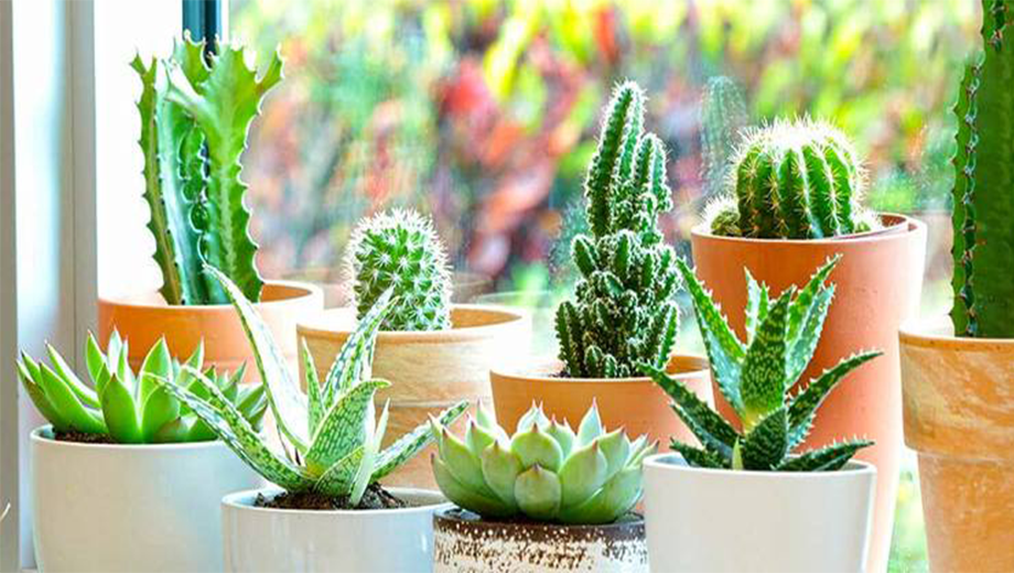 خواص و فواید درمانی شگفت انگیز گیاه کاکتوس