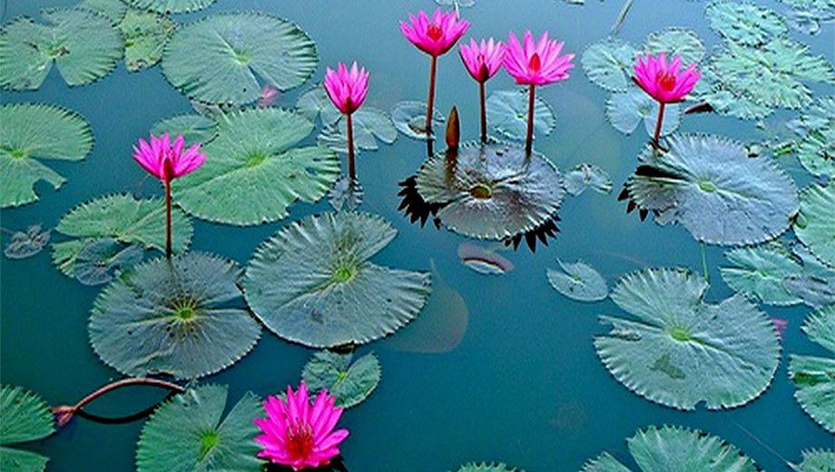 خواص گیاه دارویی گل نیلوفر